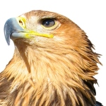 bigstock_Young_Brown_Eagle_10578419[1]_crop