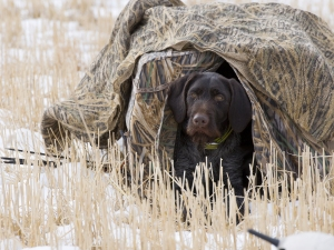 Duck hunting dog hiding in a blind